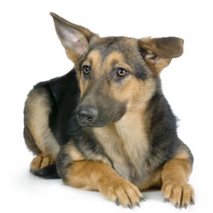 german-shepherd-3-picture.jpg
