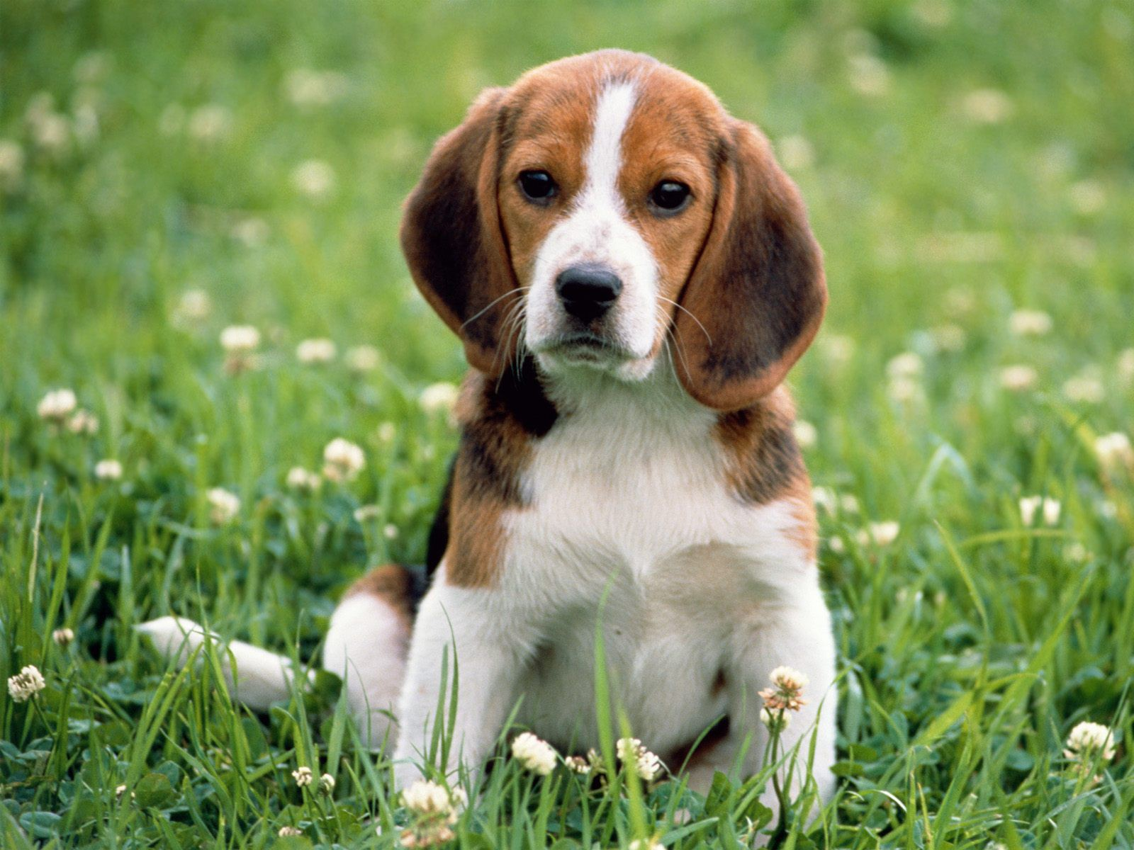 beagle-apple-dog-animal-for-sale.jpg